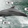 ヒゲクジラとハクジラの外部形態