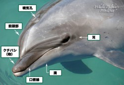 ハクジラ亜目の外部形態