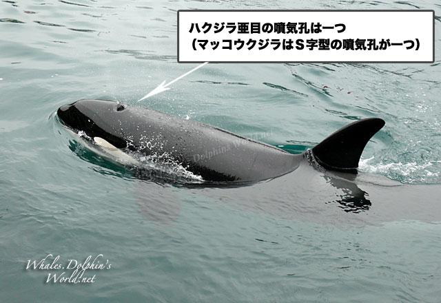 クジラの画像 p1_13