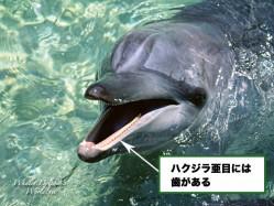 ハクジラ亜目