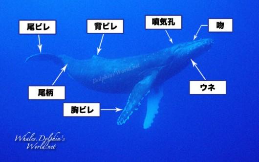 ヒゲクジラ亜目の外部形態