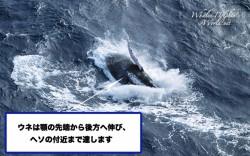 ヒゲクジラのウネ
