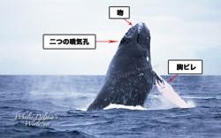 ヒゲクジラ亜目の噴気孔