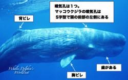 ハクジラ亜目の噴気孔