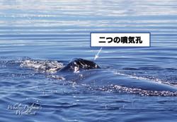 ヒゲクジラ亜目の二つの噴気孔