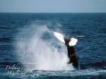 ザトウクジラの尾ビレ