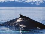 ザトウクジラの背ビレ