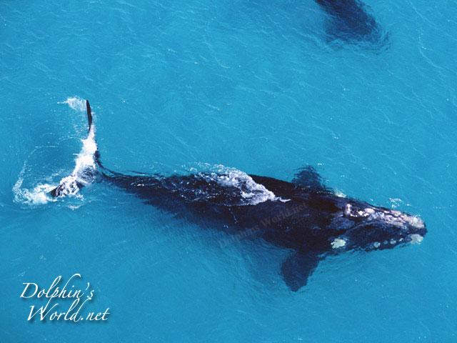 セミクジラの画像 p1_2