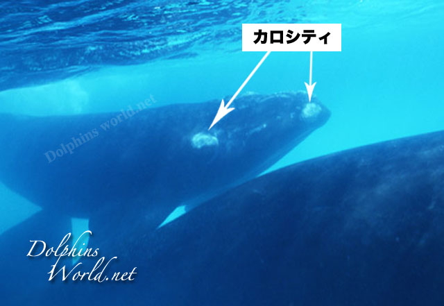 セミクジラの画像 p1_9