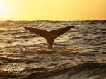 マッコウクジラの尾ビレ